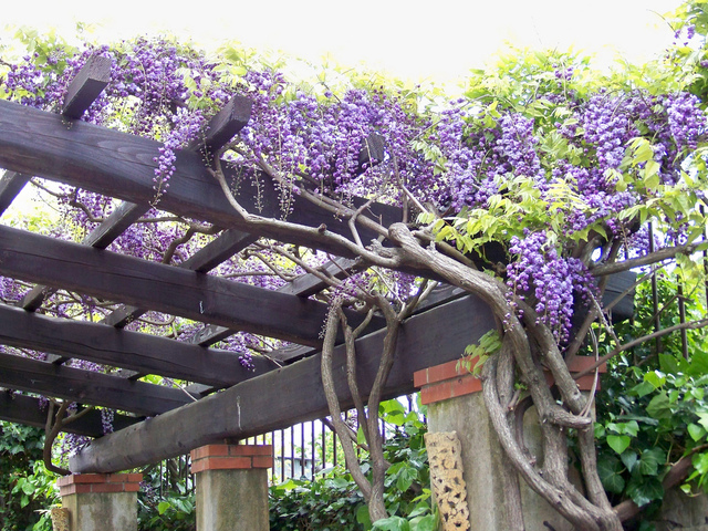 plante grimpante pergola