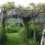Plante grimpante pour pergola