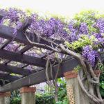 Plantes grimpantes pour pergola